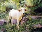 Cows a002.jpg