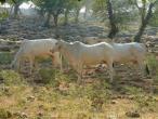 Cows a009.jpg