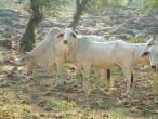 Cows a011.jpg