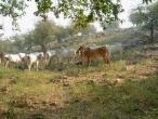 Cows a014.jpg