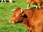 Cows from Belgium 001.jpg