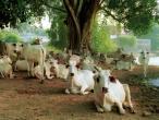 vrndavan_cows_12.jpg
